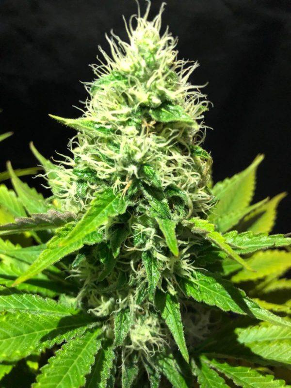 narco polo 2.0 wolne konopie nasiona marihuany