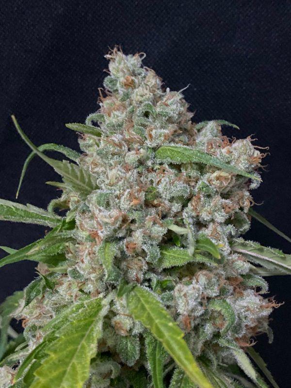 feminizowane nasiona marihuany narco polo 2.0