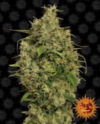 sweet seeds tooth