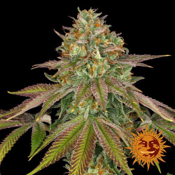 bf wedding cake feminised nasiona marihuany