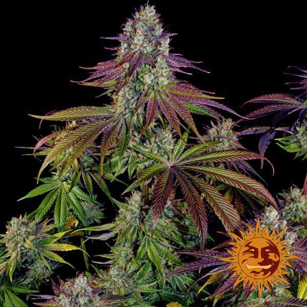 nasiona feminizowane marihuany mimosa evo barney feminizowane