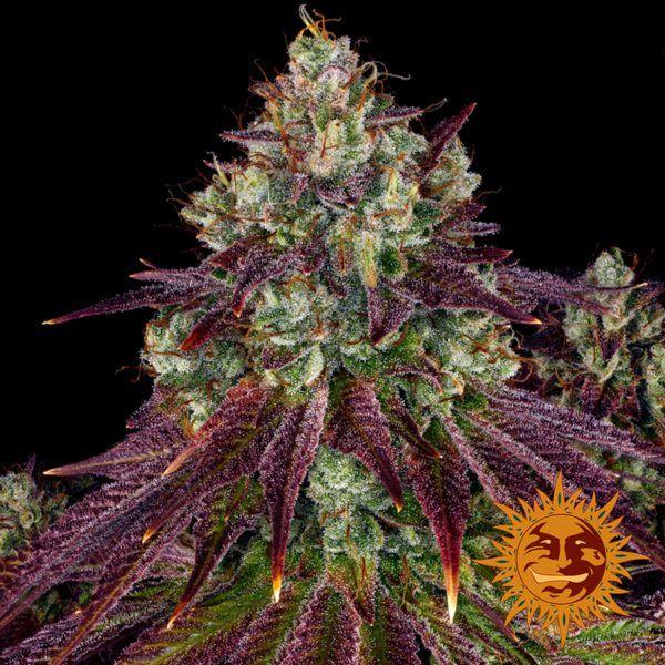 nasiona marihuany mimosa evo barneys farm nasiona feminizowane