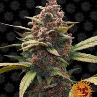 Ayahuasca Purple barneys farm nasiona feminizowane marihuany konopi indyjskich red river delta cannabis seeds