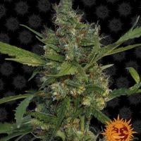 Morning Glory barneys farm nasiona marihuany feminizowane konopi indyjskich marihuany