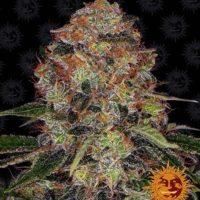 Shiskaberry barneys farm nasiona feminizowane marihuany konopi indyjskich cannabis seeds