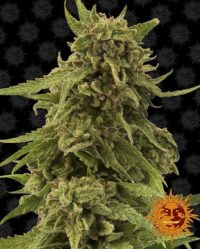 cbd critical cure barneys farm nasiona marihuany konopi