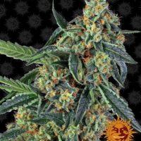 cookies kush barneys farm nasiona feminizowane konopi indyjskich marihuany