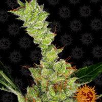 dr grinspoon nasiona feminizowane marihuany konopi indyjskich