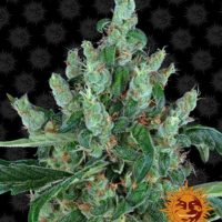 laughing buddha barneys farm nasiona feminizowane marihuany konopi indyjskich cannabis seeds
