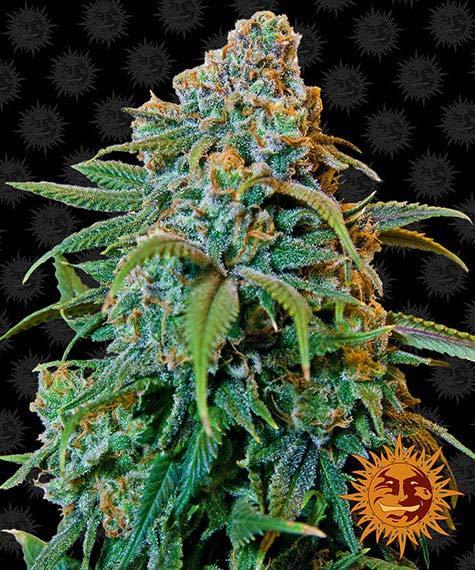liberty haze barneys farm nasiona fem inizowane marihuany konopi indyjskich g13 chemdawg91