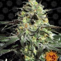 peyote cookies barneys farm nasiona feminizowane marihuany konopi indyjskich cannabis seeds