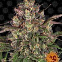 peyote critical nasiona feminizowane marihuany cannabis seed ganja