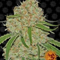 phantom og barneys farm nasiona marihuany konopi indyjskich phantom cookies