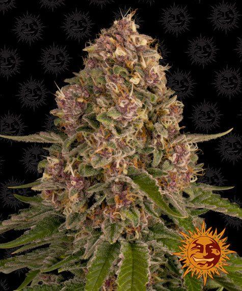 pink kush barneys farm nasiona feminizowane marihuany konopi indyjskich og kush