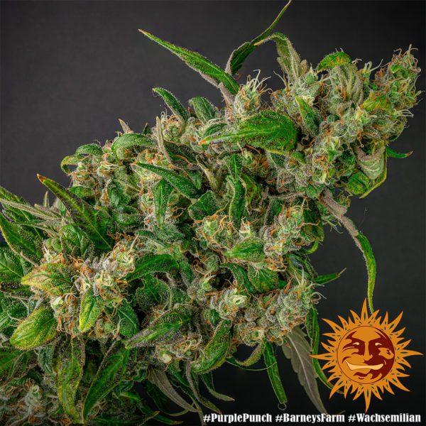 purple punch barneys farm marihuany nasiona