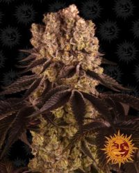 purple punch barneys farm nasiona marihuany konopi indyjskich cannabis seeds