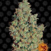 tangerine dream barneys farm nasiona feminizowane marihuany konopi indyjskich cannabis seeds