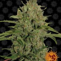 triple cheese barneys farm nasiona marihuany feminizowane konopi indyjskich cannabis seeds