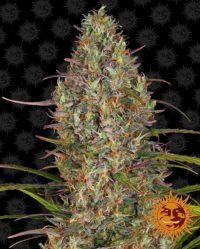 Glue Gelato Auto barneys farm nasiona feminizowane marihuany konopi indyjskich