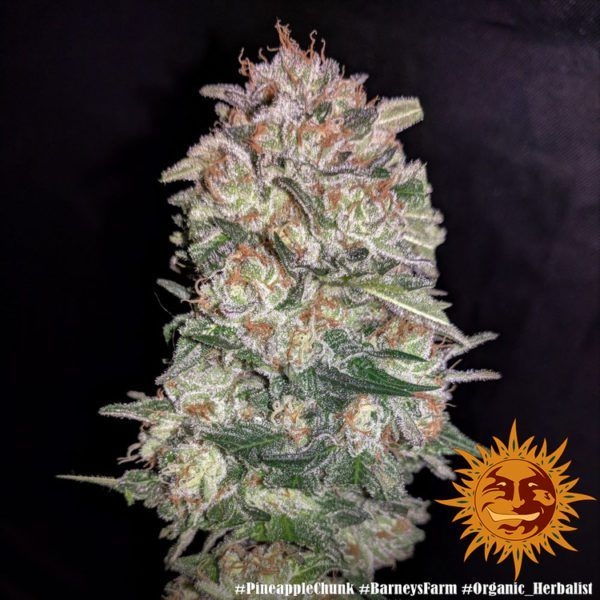 Pineapple Chunk nasiona marihuany
