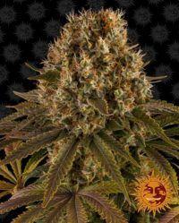 Strawberry Lemonade barneys farm nasiona feminizowane marihuany cannabis