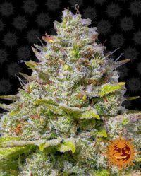 blue gelato 41 barneys farm nasiona feminizowane marihuany konopi cannabis seeds