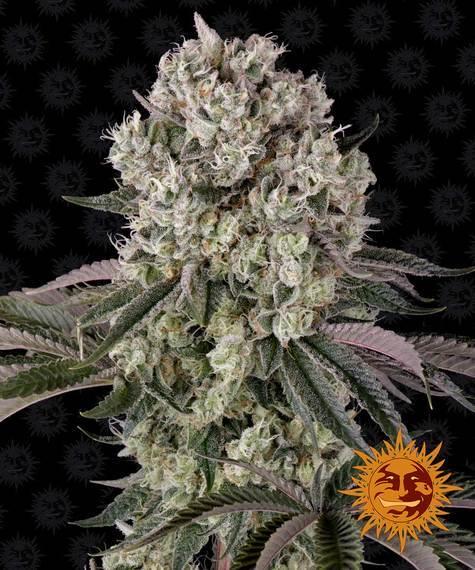 glookies barneys farm nasiona marihuany