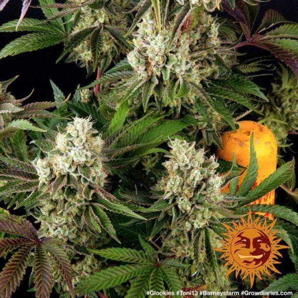 glookies barneys farm feminizowane nasiona marijhuany konopi