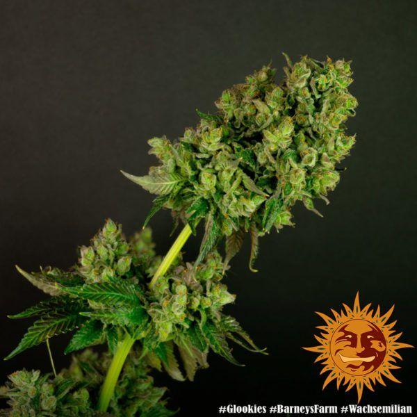 glookies barneys farm feminizowane nasiona konopi marihuany genetyka usa