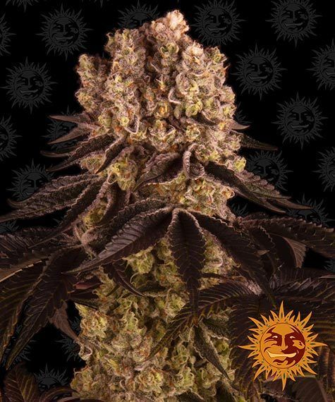 purple punch barneys farm nasiona marihuany konopi indyjskich cannabis seeds