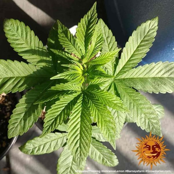amnesia lemon barneys farm nasiona femin izowane marihuany konopi indyjskich ganja