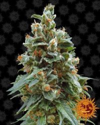 vanilla kush barneys farm nasiona marihuany