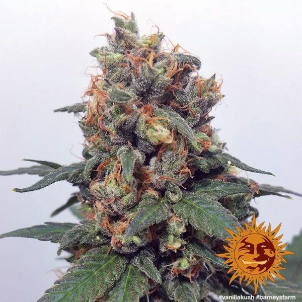 vanilla kush barneys farm nasiona feminizowane konopi marihuany