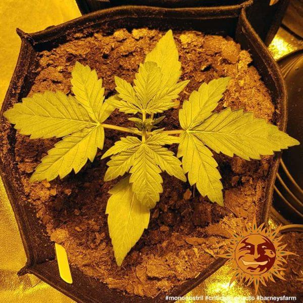 Auto Critical Kush Barney's farm nasiona marihuany feminizowane