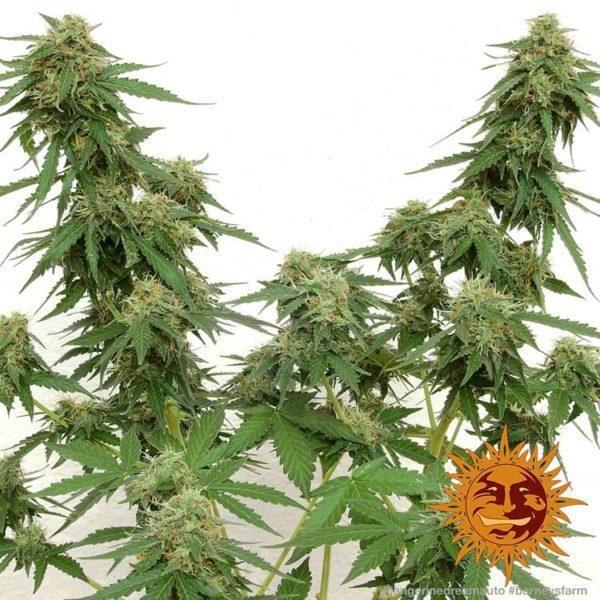 Auto Tangerine Dream barney's farmnasiona marihuany feminizowane