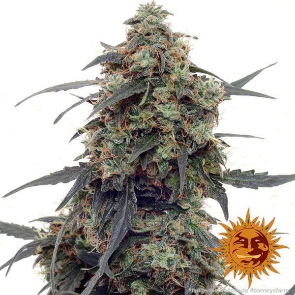 Auto Tangerine Dream nasiona konopi barney's farm feminizowane