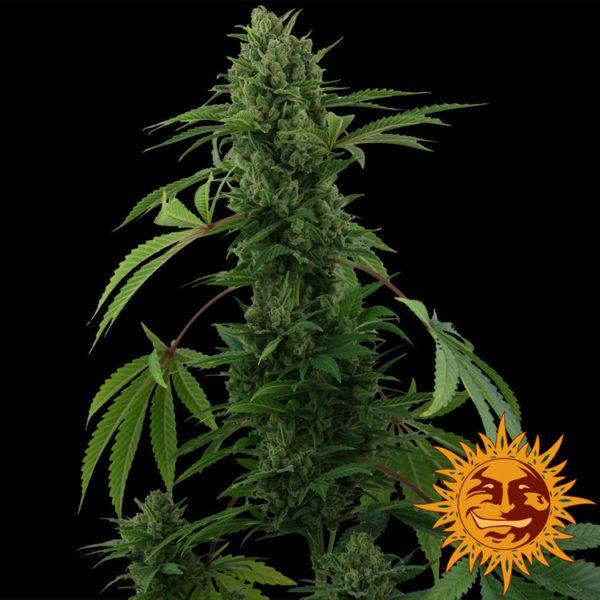 Barneys Farm nasiona marihuany Pinneapple Express Auto feminizowane