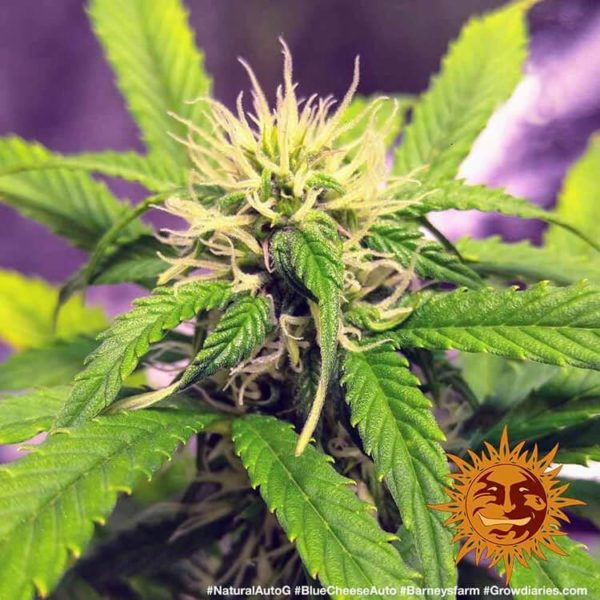 Blueberry Cheese Auto Barney's Farm nasiona marihuany feminizowane konopi
