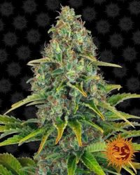 Blueberry Cheese Auto Barney's Farma nasiona marihuany feminizowane