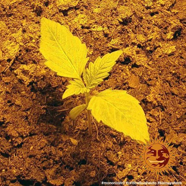 Critical Kush Auto Barney's farm nasiona marihuany feminizowane