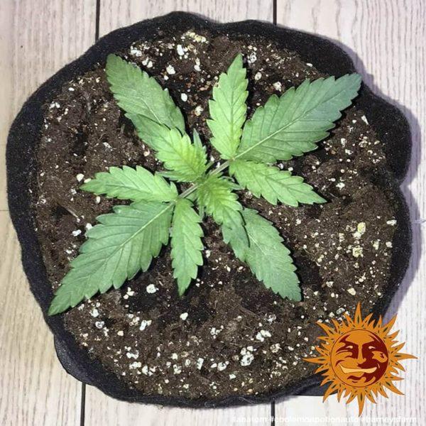cbd-lemon-potion-auto barneys farm nasiona marihuany feminizowane