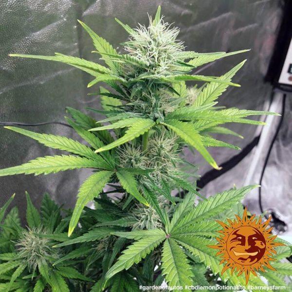 cbd-lemon-potion-auto nasina marihuany feminizowane