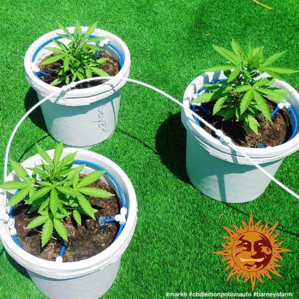 cbd-lemon-potion-auto_barneys farm nasiona konopi nasiona marihuany