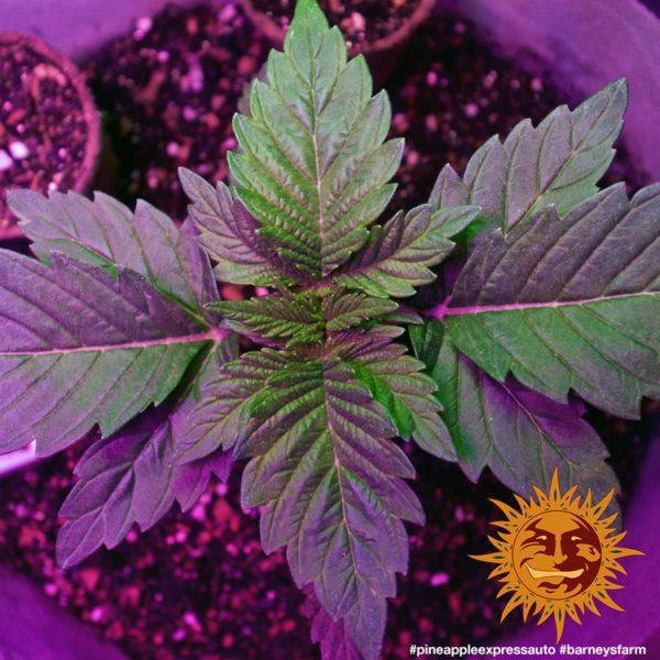 nasiona marihuany Pinneapple Express Auto Barneys Farm feminizowane
