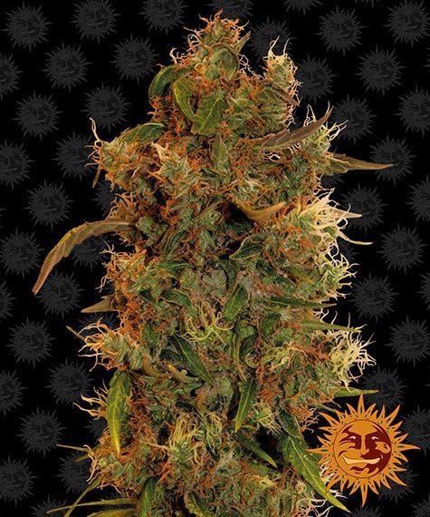 8 Ball Kush Barneys Farm nasiona marihuany feminizowane