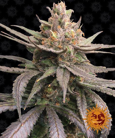 Red Dragon Barneys Farm nasiona marihuany feminizowane