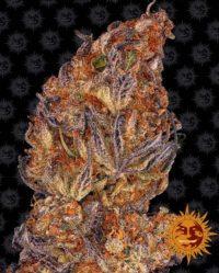 Runtz Auto barneys farm nasiona marihuany feminizowane