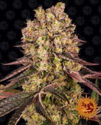 Runtz Muffin Barneys Farm nasiona marihuany feminizowane