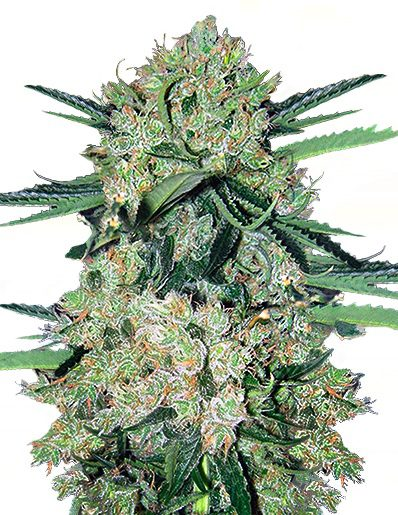 Stinky Cheese Auto fatty seeds nasiona marihuany feminizowane