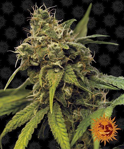 Utopia Haze Barneys Farm nasiona marihuany feminizowane
